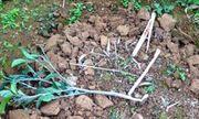 Hộ dân bị kẻ xấu chặt hạ 500 cây cam đúng ngày 28 Tết