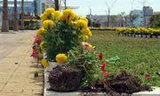Điều tra vụ đường hoa Phú Yên bất ngờ bị phá tan hoang