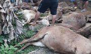Truy tìm xe tải chở 13 con bò chết bán cho dân