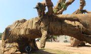 Lộ nguồn gốc một cây