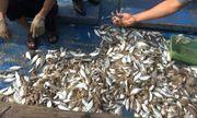 Không phát hiện độc tố trong cá chết dạt vào bờ biển Quảng Trị