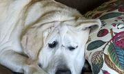 """Chú chó bị bỏ rơi vì """"xấu ma chê quỷ hờn"""" hồi sinh sau khi được nhận nuôi"""