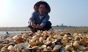 Ngao chết hàng loạt ở Hà Tĩnh: Nguyên nhân do sương muối