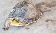Sóc Trăng: Một thầy giáo bỏ tiền mua lại rùa hộp quý hiếm rồi phóng sinh