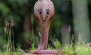 Lạ lẫm hình ảnh rắn hổ mang cực độc lại có hình mặt cười phía sau đầu
