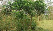 Cây Ưng bất bạc- vị thuốc quý ngàn năm cho lá gan