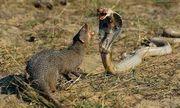 Video: Cận cảnh đàn cầy mangut xé xác khắc tinh của mình