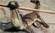 Hoảng hồn cá sấu dài hơn 1m sổng chuồng bơi ra mương nước