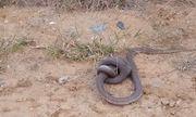 Video: 2 con rắn hổ mang quyết đoạt mạng đối thủ bằng cú đớp tử thần