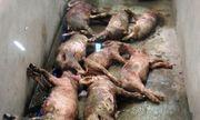 Đâm chết đàn lợn, đầu độc hơn 1.000 con vịt: Những hành động vô nhân đạo