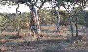Video: Trận tử chiến giữa sư tử và hươu cao cổ