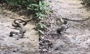 Video: Hổ mang chúa xuất