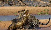 Video: Báo đốm khiến cá sấu caiman tê liệt nằm chờ tử thần