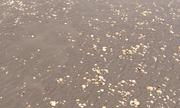 Trà Vinh: Gần 300 tấn nghêu chết bất thường trước thời điểm thu hoạch