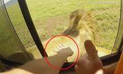 Du khách suýt bị sư tử ngoạm đứt tay vì cả gan thò tay ra vuốt lông