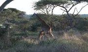 Video: Bầy sư tử hung dữ đu chân hạ gục hươu cao cổ trong giây lát