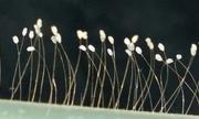 Thực hư hoa ưu đàm 3.000 năm mới nở xuất hiện tại TP.HCM