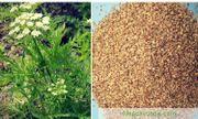 Xà sàng tử: Vị thuốc nam giúp cường dương, chống ngứa, chữa tiêu hóa kém