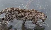 Video: Báo hoa mai thể hiện kỹ năng săn mồi điêu luyện, tóm gọn cá da trơn