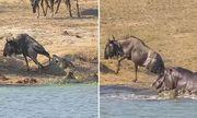 Video: Hà mã liều lĩnh cứu linh dương khỏi hàm cá sấu