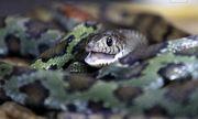 Rùng mình với ngôi làng nuôi hàng nghìn đàn rắn trong suốt 40 năm
