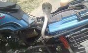 Video: Kinh hãi hổ mang chúa kịch độc chui vào xe máy