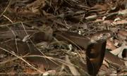 Video: Rắn hổ mang bị đàn cầy mangut