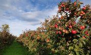 Cận cảnh vườn táo cổ 300 tuổi đẹp như thiên đường tại Mỹ