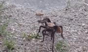 Video: Ong bắp cày chích độc hạ gục nhện tarantula