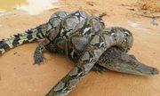 Video: Bị trăn khổng lồ quấn chặt, cá sấu may mắn thoát khỏi