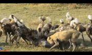 Video: Bầy chó săn bao vây, tấn công sói đồng cỏ