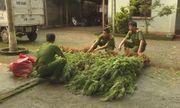 Đi thăm rẫy, người đàn ông phát hiện gần 300 cây cần sa trồng trái phép