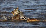 Video: Đàn cá sấu hung hãn xé xác ngựa vằn vượt sông