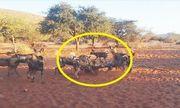 Video: Hãi hùng trước đàn chó hoang cùng nhau xé xác lợn rừng