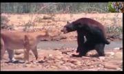 Video: Trận chiến khốc liệt giữa gấu đen và sư tử