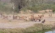 Video: Linh cẩu bao vây đôi sư tử cái, quyết cướp xác trâu