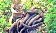 Video: Rùng mình chứng kiến rắn mẹ đẻ liền lúc 57 con