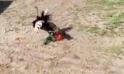 Video: Nam thanh niên bị đà điểu đánh tới mức xương sườn bị rạn