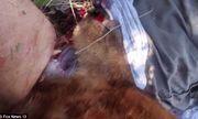 Kinh hoàng nhân viên cứu hộ chặt lìa đầu con gấu 200 cân để giải cứu nạn nhân