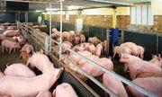 Giá lợn hơi hôm nay 20/8: Miền Bắc giảm 500 đồng/kg
