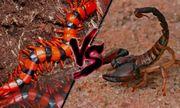 Cuộc chiến sinh tồn: Bọ cạp đen quyết đấu rết khổng lồ