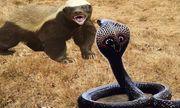 Cuộc chiến sinh tồn: Sở hữu nọc độc chết người, rắn hổ mang vẫn bị