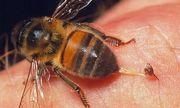 Mẹo làm dịu vết ong đốt không cần thuốc cực kì hiệu quả