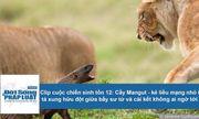 Cuộc chiến sinh tồn: Cầy Mangut tả xung hữu đột giữa bầy sư tử và cái kết khó ngờ