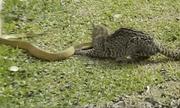 Video: Mèo hoang tử chiến ác liệt với rắn độc khét tiếng