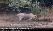 Video: Sư tử quằn quại sau cú