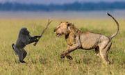 Video cuộc chiến sinh tồn 19: Bắt nạt sư tử đi lẻ, khỉ đầu chó phải nhận kết cuc thảm