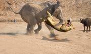 Video cuộc chiến sinh tồn 20: Trâu rừng 'nhờ' voi cứu nguy để thoát khỏi nanh vuốt sư tử