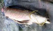 Bắt được cá huyết rồng dài 1,6m ở An Giang