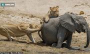 Cuộc chiến sinh tồn: Voi con bị hạ gục vì sư tử đực